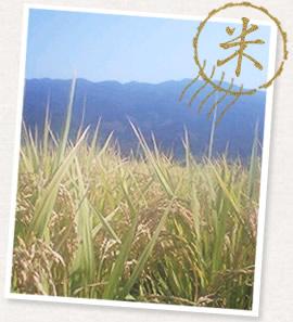 無農薬の稲と田んぼ